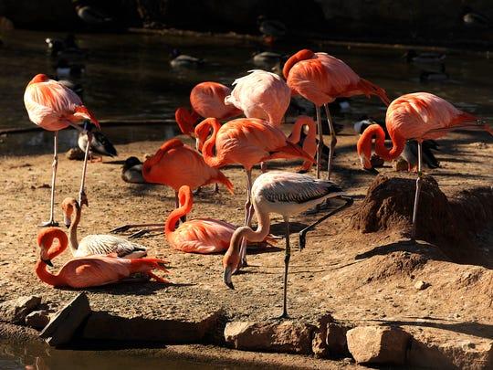 Flamingos sun themselves in the unseasonably warm January sun on Wednesday at the Abilene Zoo.