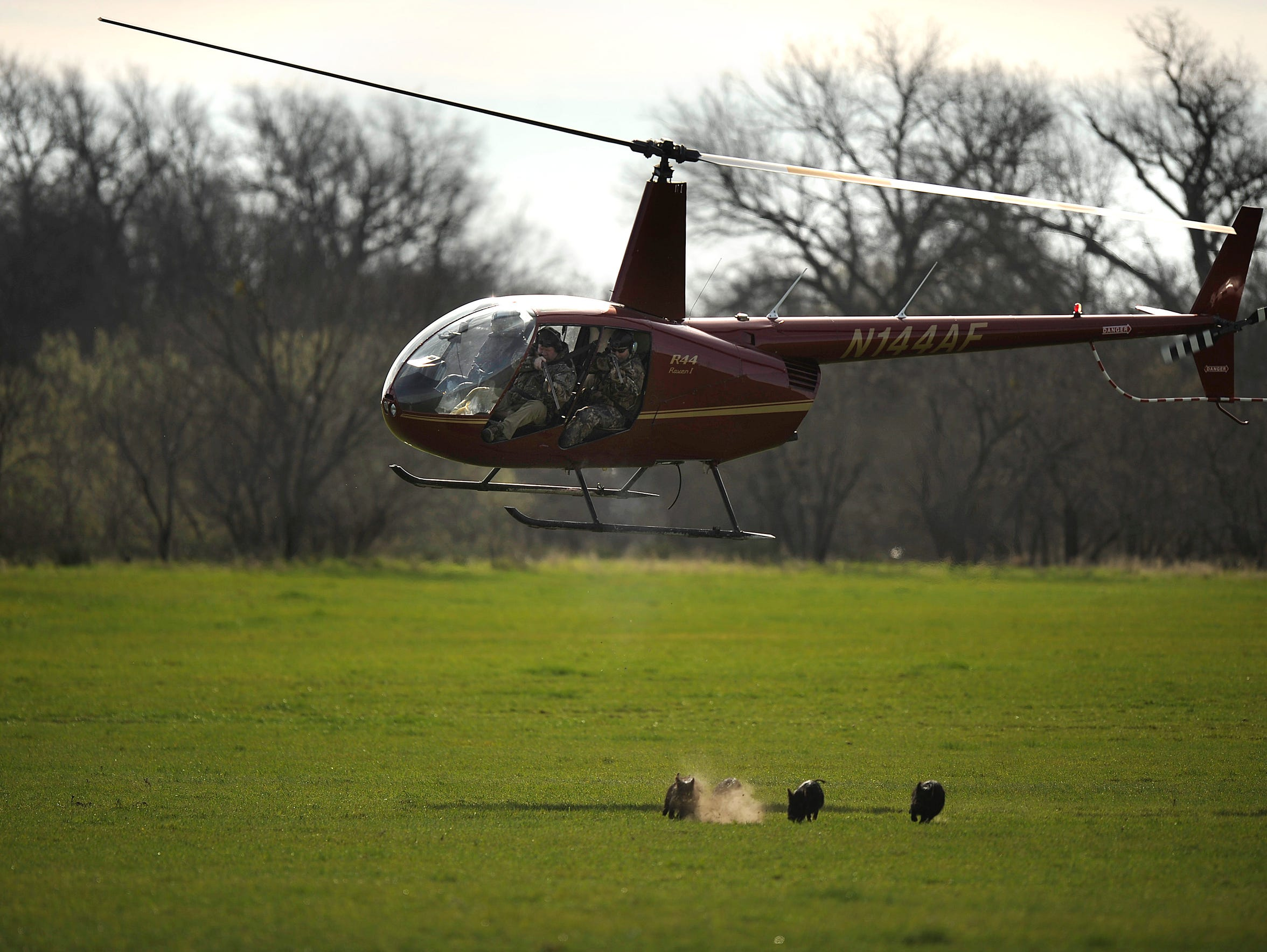 Hunters shoot feral hogs from a helicopter on land