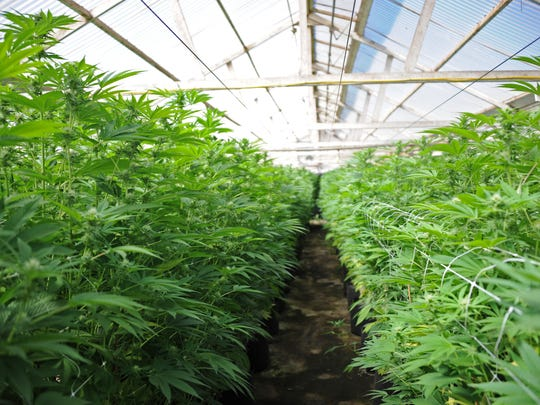 Cannabis growing at Riverview Farms in Salinas, CA.