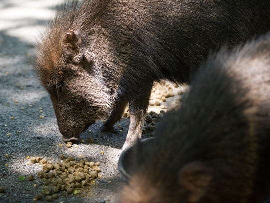 Chacoan peccaries eat a snack in their habitat at Zoo