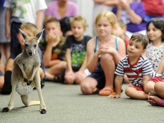 Boomerrand, a six month-old kangaroo, checks out his surroundings as he visits with children at the Evansville Vanderburgh Public Library's West Branch with the group Animal Tales as part of the library's summer reading programming a previous year.