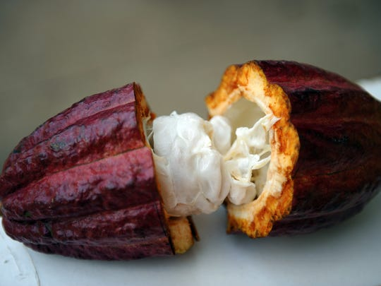 A cut-open cacao pod. The cacao beans can be roasted and turned into chocolate.