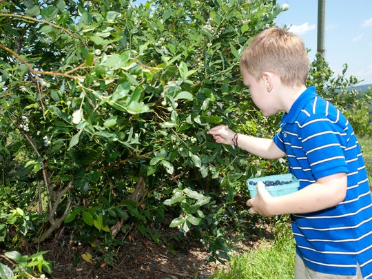 Little boy picking blueberries at Lyman Orchards in