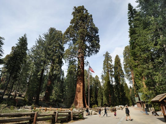 The Giant Forest with its giant sequoia trees, is located in Sequoia National Park. 