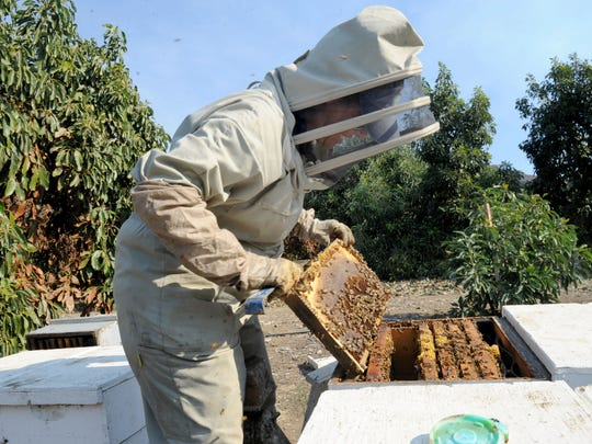 Nicole Ulibarri looks at bees that survived the Thomas