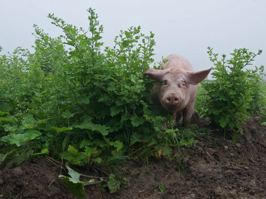 Piggie in the brush on ASAP's Farm Tour.