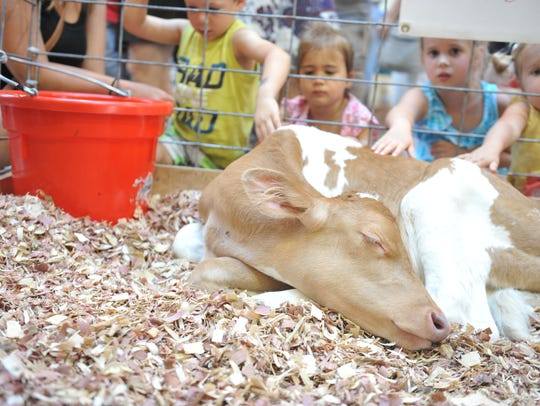 Kids pet a newborn calf at the Iowa State Fair.