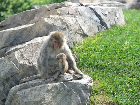 A mother snow monkey sits with her newborn at the Great