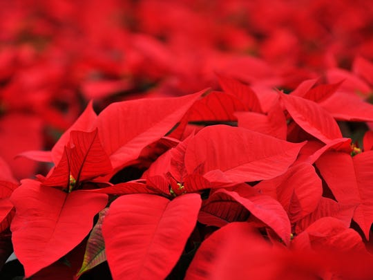 Poinsettia How Wild Shrub Became Potted Plant Shorthand For Holidays