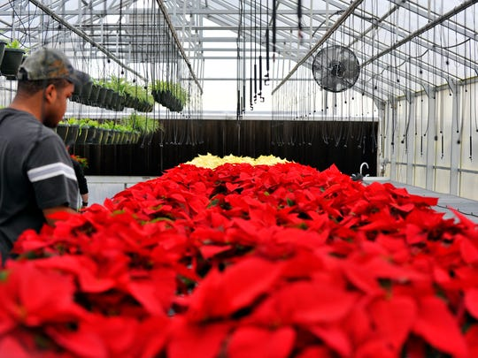 Poinsettia: How wild shrub became potted-plant shorthand ...