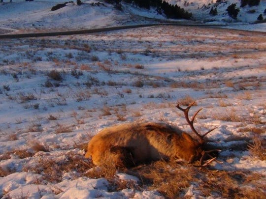 This bull elk was completely left to waste in the Bears