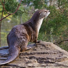 The charismatic looks of the north American River otter helps raise money and public awareness to restore habitats for other endangered species.
