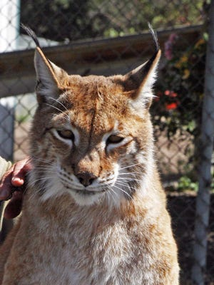 Nadia is a Siberian lynx, also known as a Eurasian lynx.