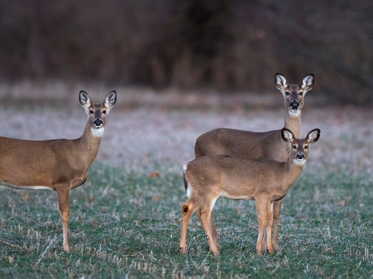 Deer gather in a field near Angel Mounds in Warrick County Monday evening. Rising Ohio River floodwaters are forcing them out of their home turf into a tight cluster of more than 100 deer.
