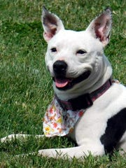 Saddle Bags is a 5-year-old, spayed-female pit bull
