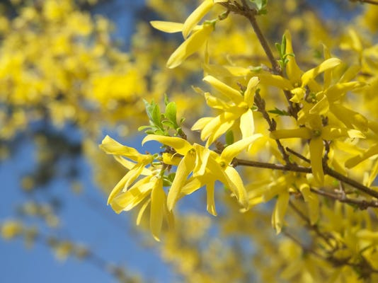 sby forsythia blossoms