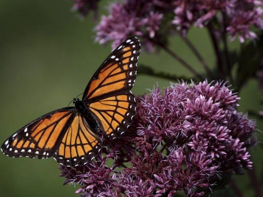 monarch.butterfly