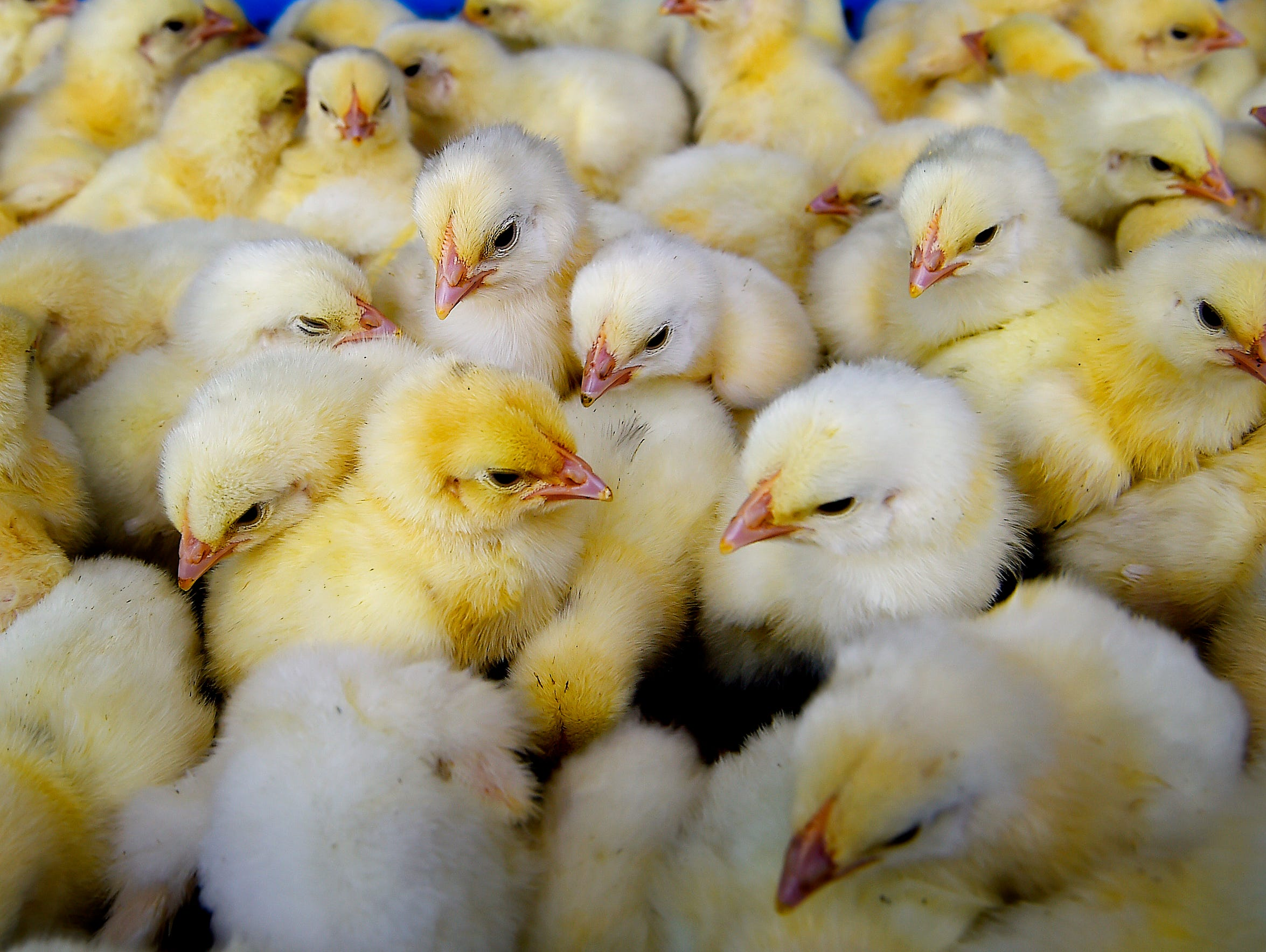 Before they are transported to farms, chicks are stacked