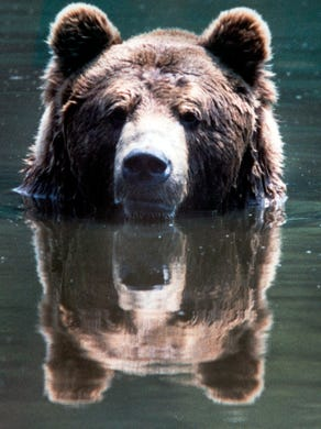 1994: European black bear cools off in a pond at Great Adventure