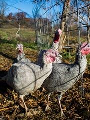 Turkeys at Windy Corners Farm in Charlotte.