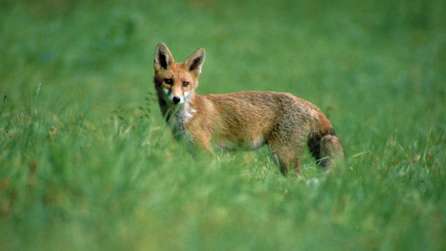 A red fox is one of the intended victims of the use of cyanide in control of wildlife.