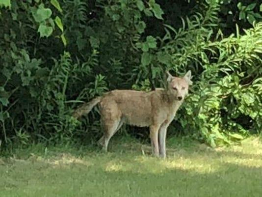 636687978927350066-coyote6.jpg