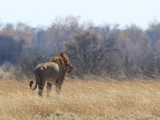 Zimbabwe Lion killed _Atki
