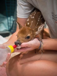 A white-tailed deer fawn is offered a bottle at the