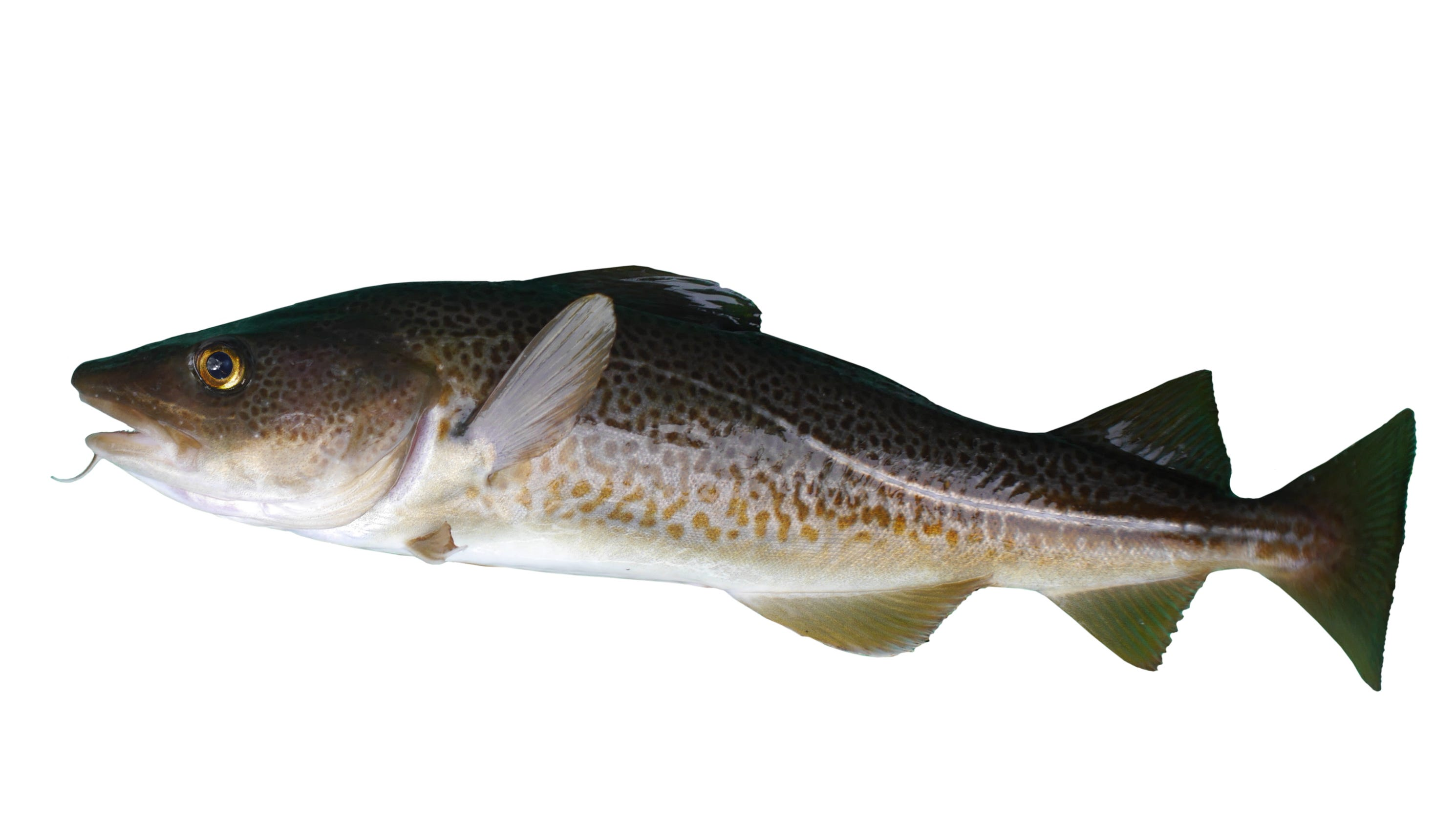 Can fish have regional accents these cod do scientists say for What is cod fish