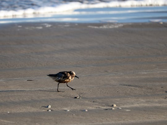 As of Tuesday, only sanderlings, such as this one, were reported to be tainted with oil washing up on Mustang Island from a barge that exploded offshore Friday.
