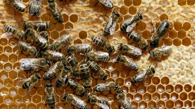 Honey bees sit on a honeycomb.