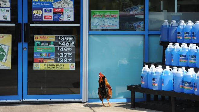 J.D. Burkhead's red rooster was returned to the Parksley Royal Famr convenience store after being taken from there on May 1. For the past nine years the rooster has become somewhat of a mascot at the store. Burkhead raised the rooster from the time it was a chick and now lives at a nearby nursing home. Parksley Store Manager Keith Justis picks up Burkhead regularly to visit with the rooster.