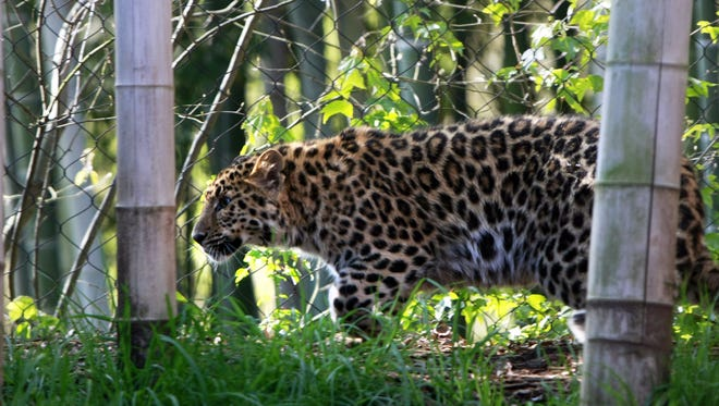 Amur Leopard triplets Clover, Jade and Emerald came to live at the Greenville Zoo in 2011.