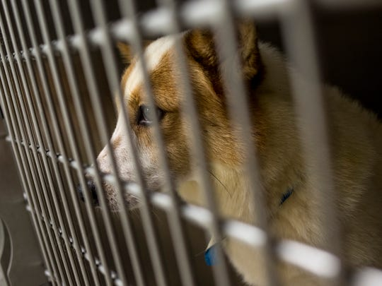 A Norwegian spitz mix looks out from a cage Tuesday, June 21, 2016 at St. Clair County Animal Control in Port Huron Township. Several of the dogs are available for adoption.