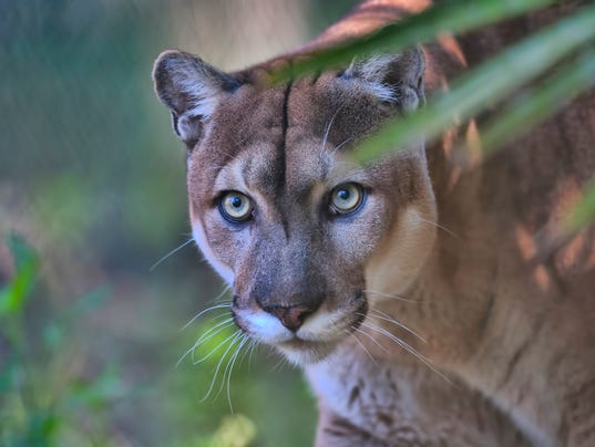 #stockphoto Florida Panther Stock Photo