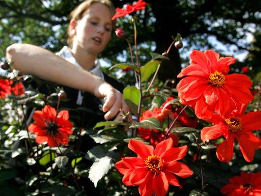 Gardener Elisa Melchert cuts dahlias of