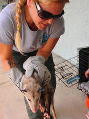 Heather Pepe, managing director and co-founder of Wild Florida Rescue Corp. getting an injured possum from Cocoa Beach to take to the Wildlife Hospital and Sanctuary.