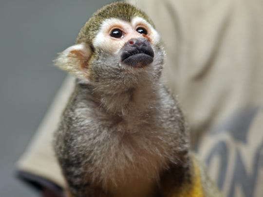 Pip, a squirrel monkey, is a new resident of the Monterey Zoo