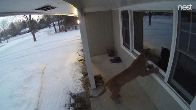 A cougar looks into the window of a Brookfield home.