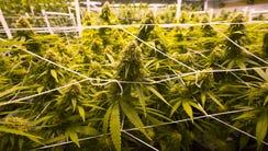 The Campaign to Regulate Marijuana Like Alcohol says