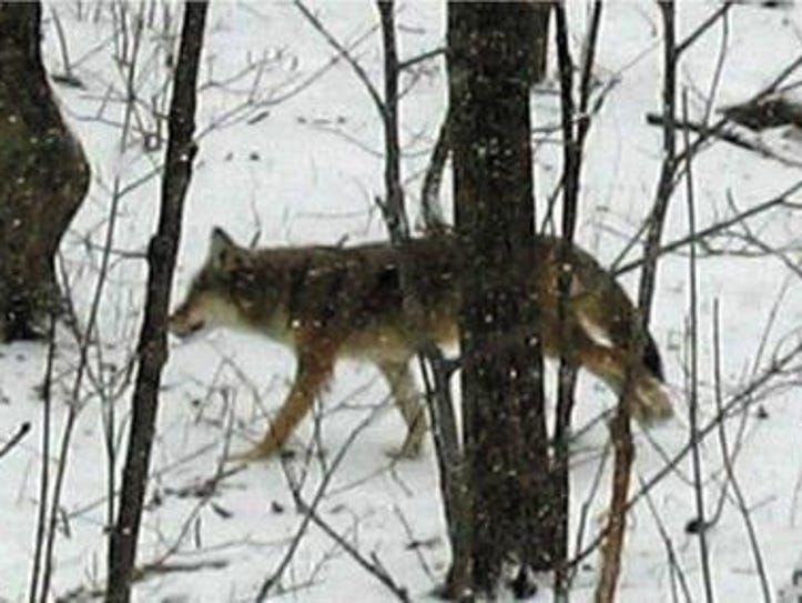Coyote sightings are on the rise in southeast Michigan,