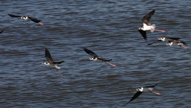 A group of black-necked stilts fly through the air at the Salton Sea on August 5, 2016.