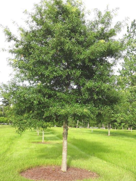 willow oak.jpg