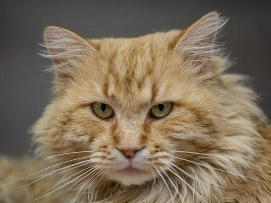 Butterball - Male domestic long hair, adult. Intake date: 2/25/2018