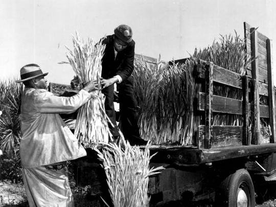 Workers loading cut flowers onto a truck in the field