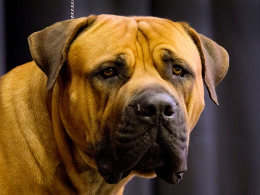 Seven new breeds will compete at the Westminster Kennel