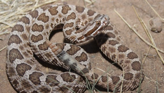 Compared to some of the more commonly observed and well-known rattlesnakes, the western massasauga is a true dwarf race.