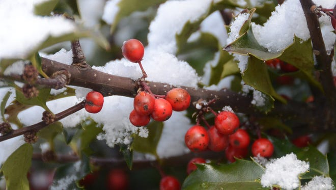 Snow covers a holly berry bush Friday, April 8, 2016, in Hazleton, Pa.