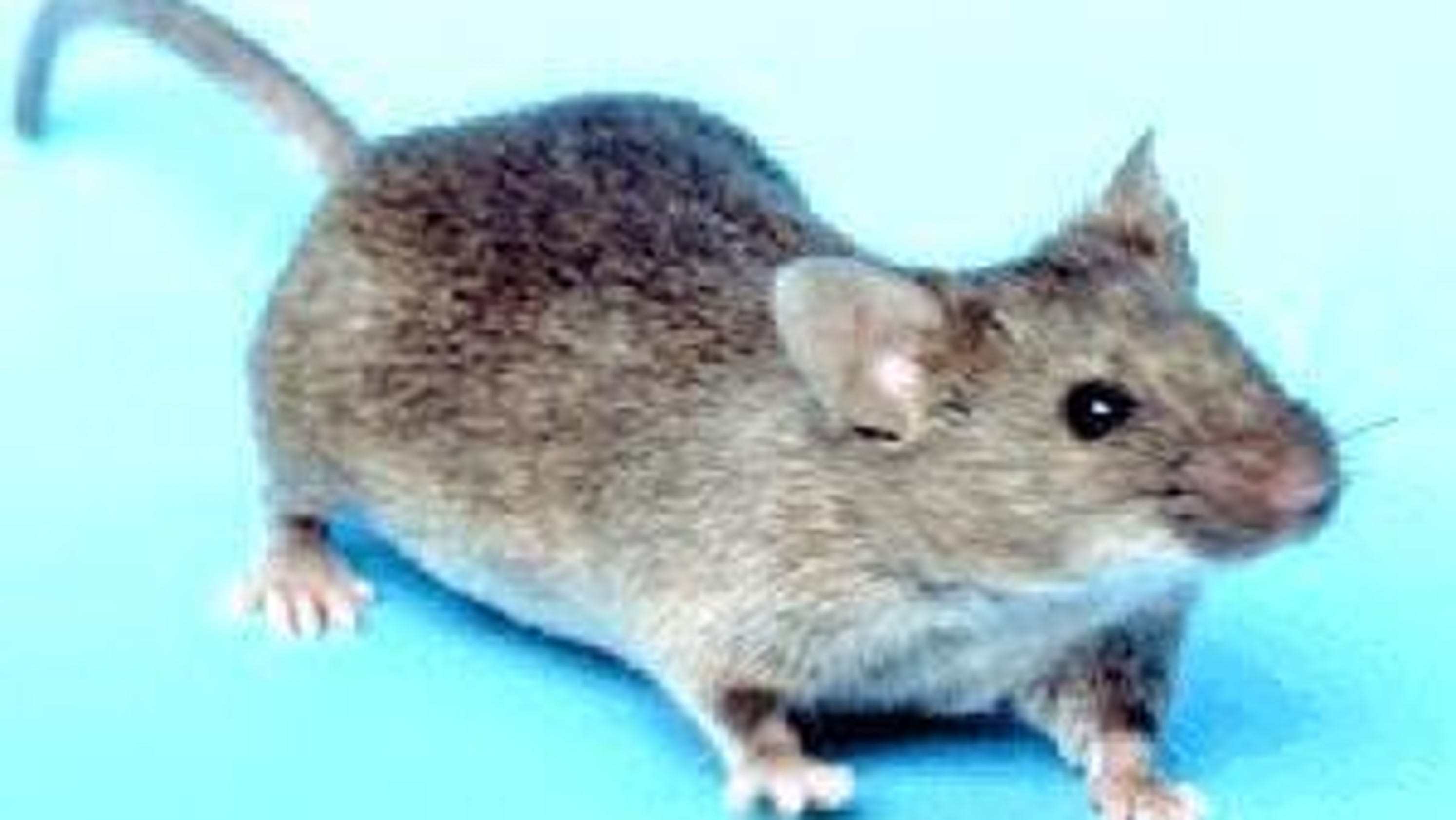 Eek! A Mus musculus (mouse)