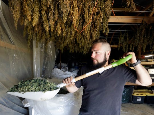 In this April 23, 2018 photo, Trevor Eubanks, plant manager for Big Top Farms, shovels dried hemp as branches hang drying in barn rafters overhead at their production facility near Sisters, Ore. A glut of legal marijuana has driven pot prices to rock-bottom levels in Oregon, and an increasing number of nervous growers are pivoting to another type of cannabis to make ends meet--hemp.